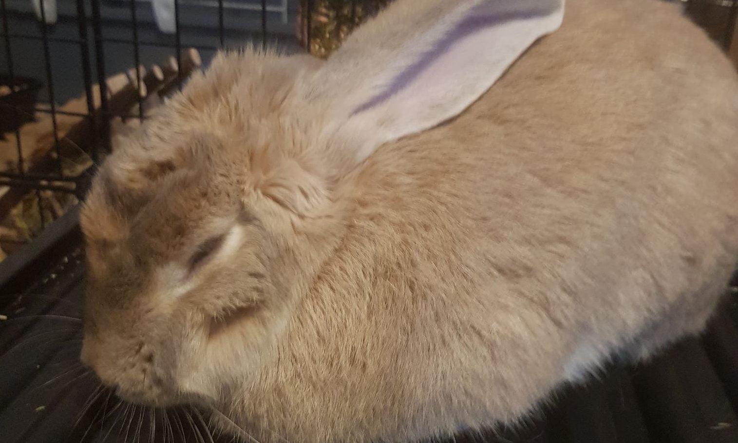 Rabbit sleeping loafed