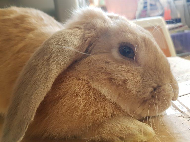 Gi Stasis in Rabbits