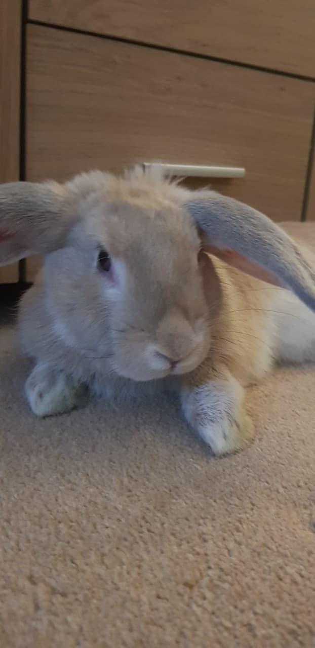 Domesticated Rabbits and Wild Rabbits