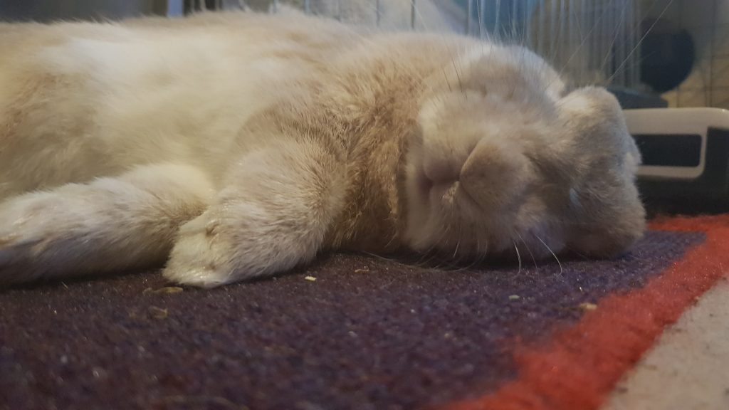 Rabbit Sleeping