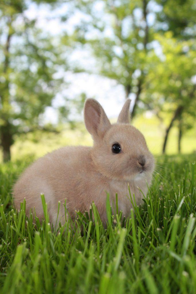 Dwarf Rabbit Life Span