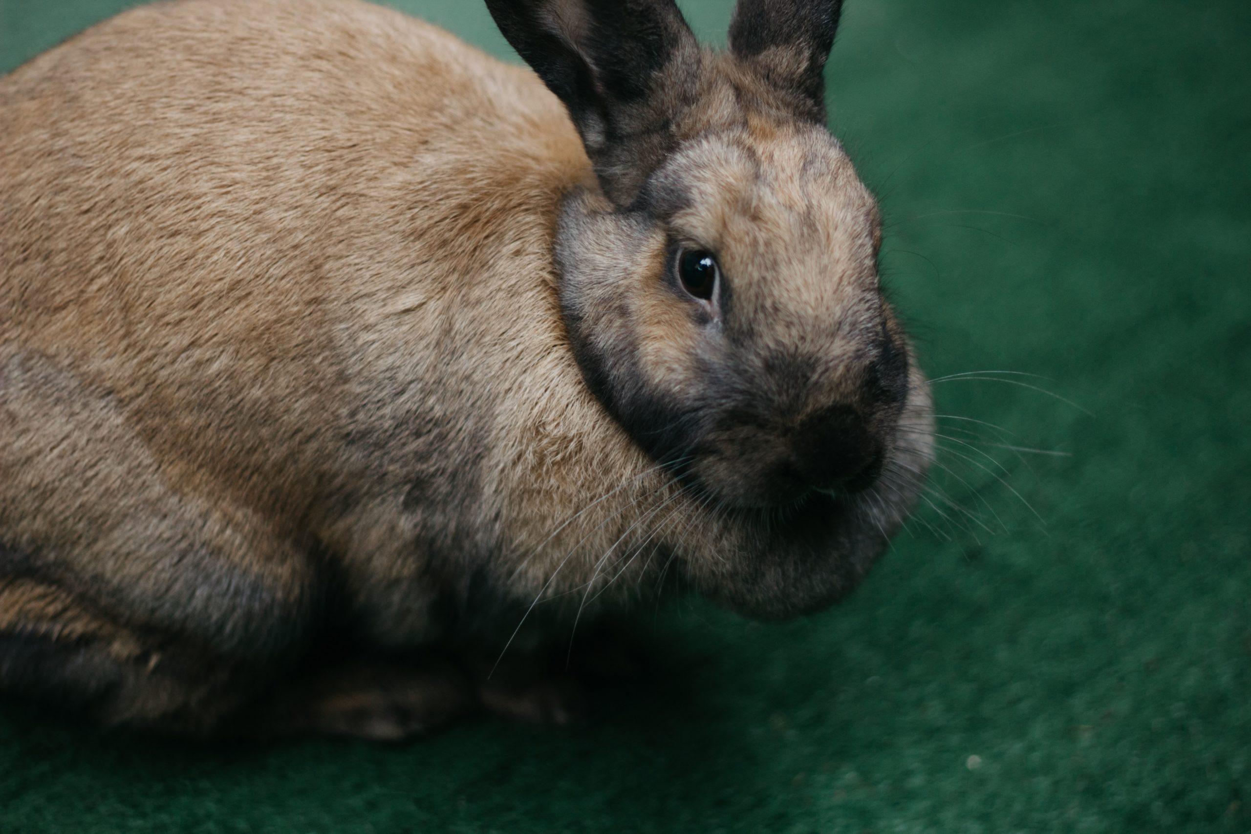 Rabbit Pregnancy