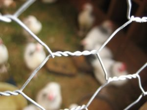 Chicken Wire Avery Cage