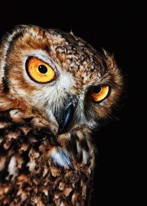 Owls - Predator for Rabbits