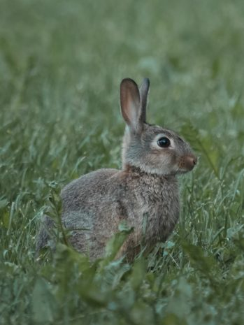 Why rabbits are not hares