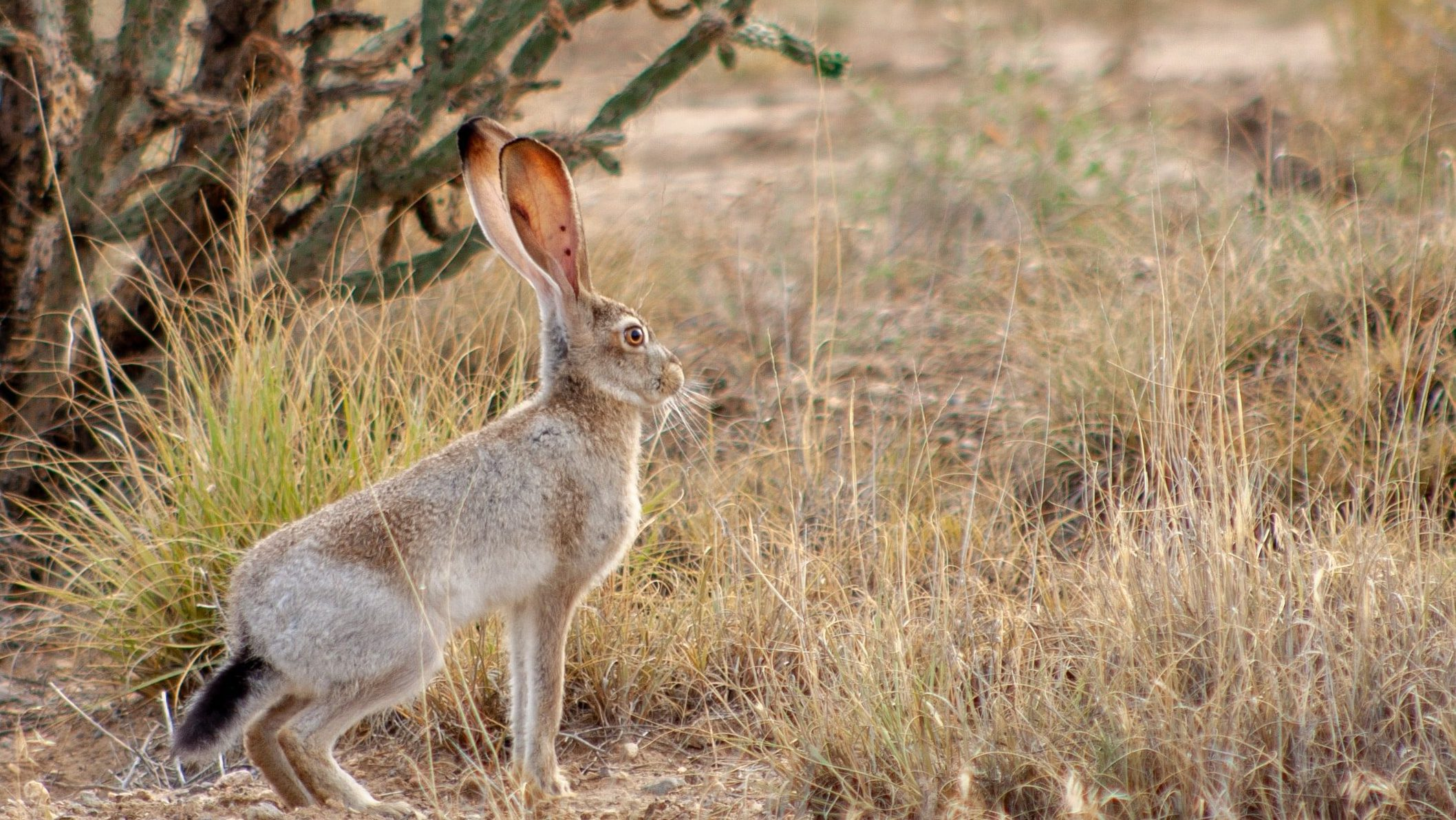 What is the difference between rabbits and hares - Jackrabbit