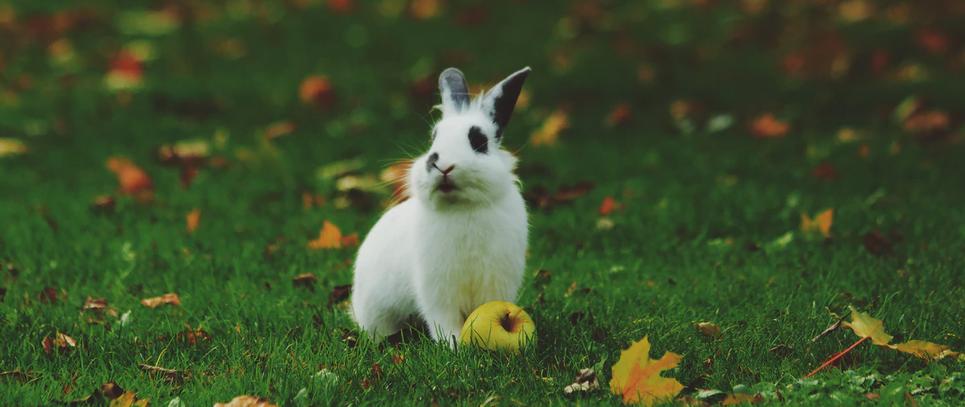 Rabbit with an apple